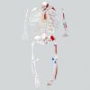Esqueleto Humano Desarticulado Tamanho Natural, com Origem e Inserção Muscular
